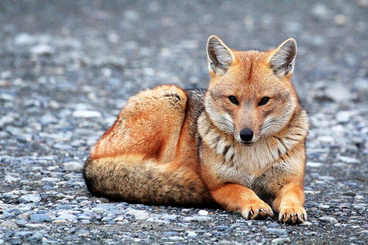 Fox in Perito Moreno