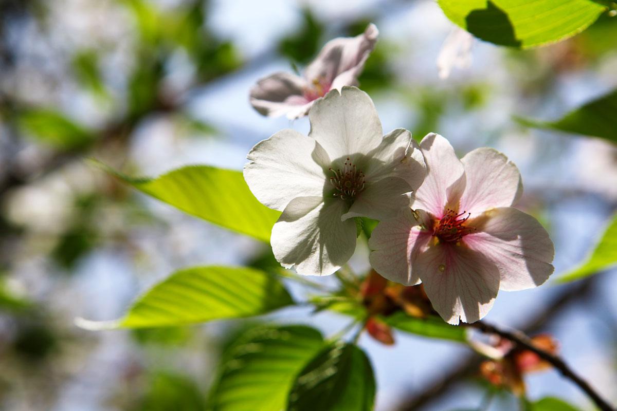 Sakura macro